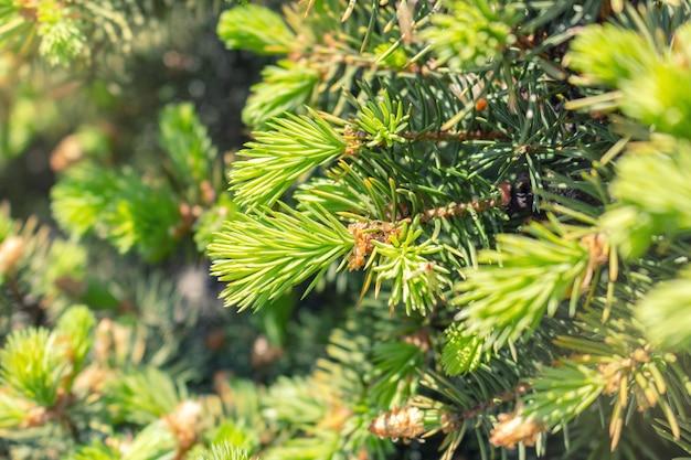 Broto aberto da árvore verde spruce com fundo de natureza de agulhas frescas