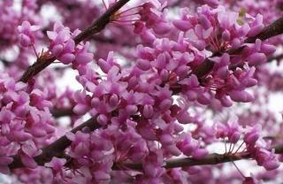 Broto da árvore vermelha em plena floração
