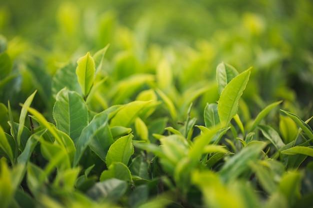 Broto de chá verde e folhas frescas. plantações de chá.