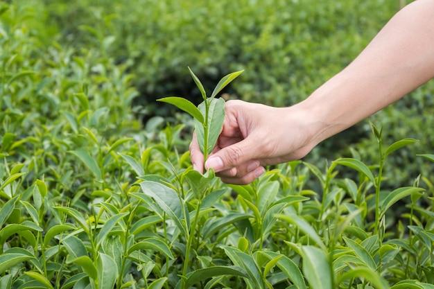 Broto de chá verde e folhas frescas. punho com chá de folhas. plantações de chá. fazenda chui fong chiang rai