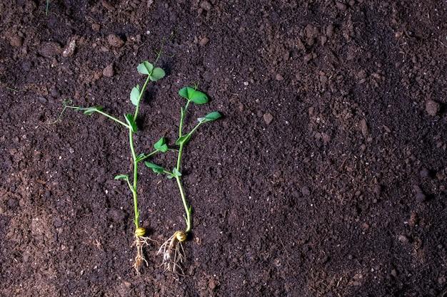 Broto de ervilha jovem com gotas de orvalho em um campo
