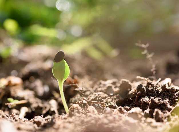 Broto de melancia crescendo fora do solo preto com luz solar na manhã de primavera