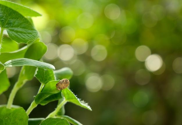 Broto de melão de inverno e folhas verdes crescendo na luz da manhã, semeando fundo de agricultura com espaço de cópia