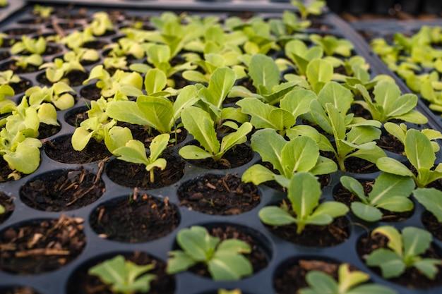 Broto de planta na bandeja de cultivo de cima e close-up vista