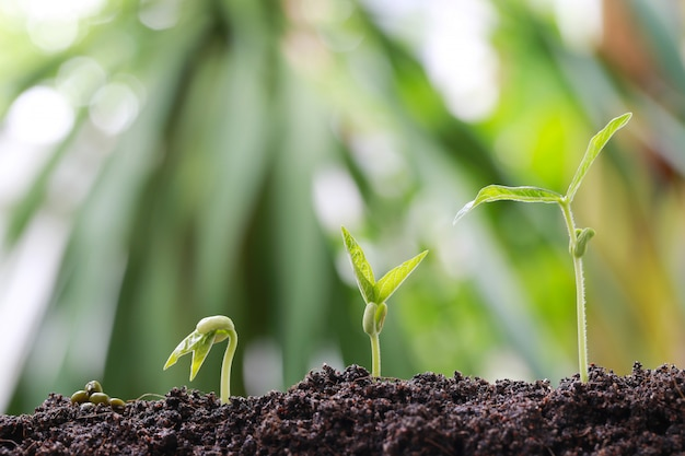 Broto de soja verde no solo no jardim vegetal.