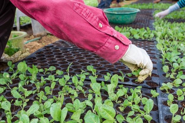 Broto de tabaco na agricultura