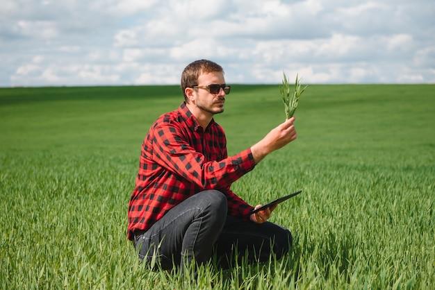 Broto de trigo jovem nas mãos de um fazendeiro. o fazendeiro considera o trigo novo no campo. o conceito de negócio agrícola
