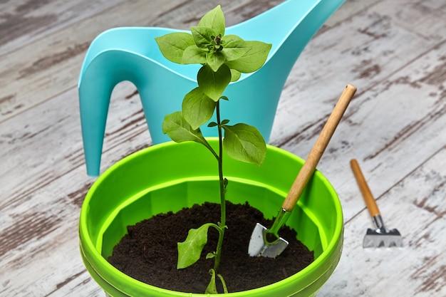 Broto de uma flor petúnia em vaso verde no contexto de um regador turquesa e ferramentas de jardinagem. flor de varanda