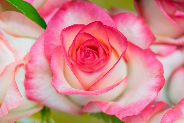 Broto de uma rosa florescendo. linda rosa fresca. florescendo broto rosa. rosas de floração da primavera.