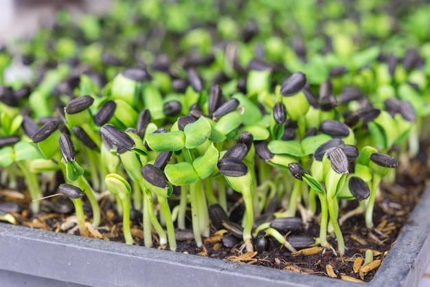 Broto verde, crescendo, de, semente