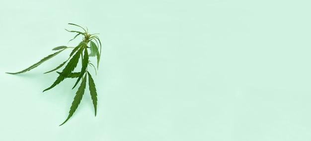 Broto verde fresco da planta cannabis sobre fundo de papel verde claro.