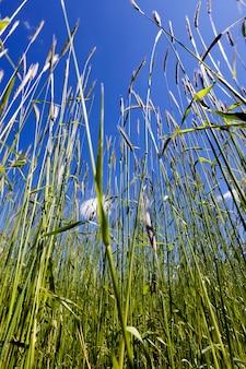 Brotos altos de trigo verde antes de amadurecer contra o céu azul, close up contra o céu início do verão
