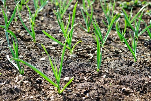 Brotos da planta crescem a partir do solo no campo na fazenda. ao ar livre.