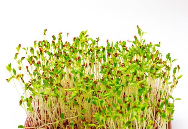 Brotos de alfafa frescos e crus germinados. close-up isolado.