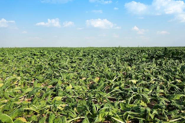 Brotos de beterraba desbotada da cana-de-açúcar que murcharam com a seca, problemas com a colheita, close-up