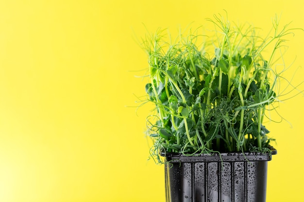 Brotos de ervilha de microgreen em fundo amarelo. conceito de alimentação vegana e saudável. brotos em crescimento. foco seletivo. brincar. bandeira.