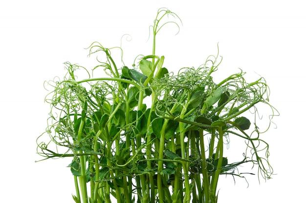 Brotos de ervilha frescos isolados no branco. microgreens.