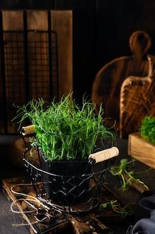 Brotos de ervilha microgreen na velha mesa de madeira estilo vintage. conceito de alimentação vegana e saudável. brotos em crescimento.