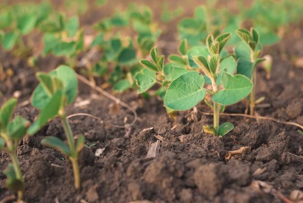 Brotos de feijão verde brota no campo close-up