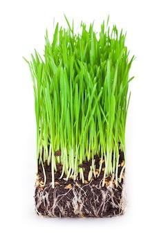Brotos de grama de trigo verde em fundo branco
