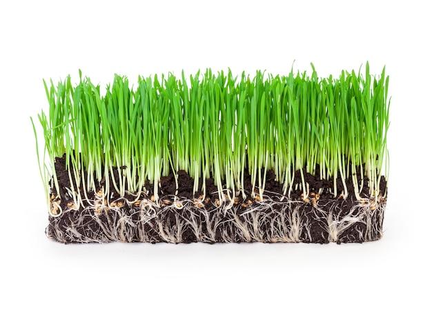 Brotos de grama verde de trigo na superfície branca