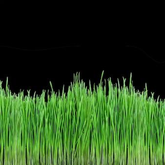 Brotos de grama verde de trigo na superfície preta