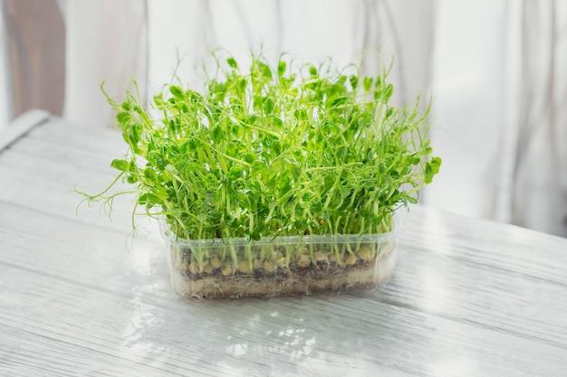Brotos de microgreen de ervilha orgânica crescendo em uma caixa de plástico em fundo branco. frash brotos crus, micro-verduras, conceito de comida saudável