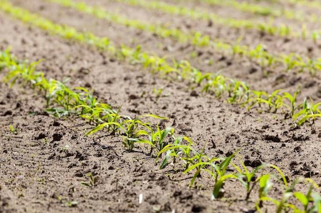 Brotos de milho jovens na primavera