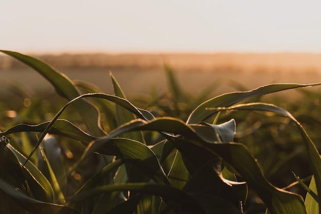 Brotos de milho verde jovem contra o sol poente. amadurecimento do milharal