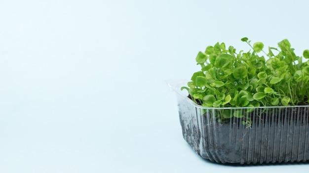Brotos de plantas jovens para as mudas em um recipiente de plástico em uma superfície leve