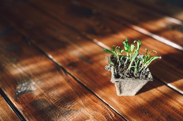 Brotos frescos, planta em vaso biodegradável. jardinagem ecológica em casa