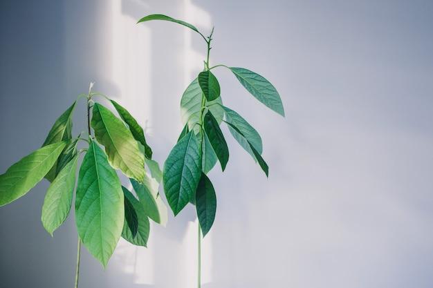 Brotos jovens de abacate com folhas grandes em branco