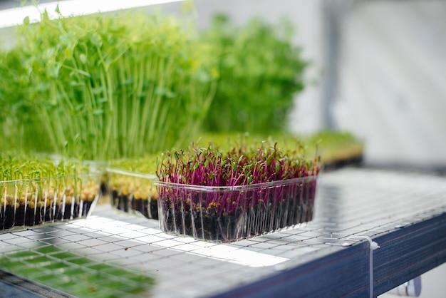 Brotos suculentos e jovens de micro-verdes na estufa. sementes em crescimento. alimentação saudável.