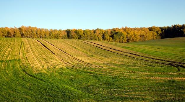 Brotos verdes de espigas de centeio e trigo, paisagem em um campo agrícola na primavera, no solo vestígios de transporte