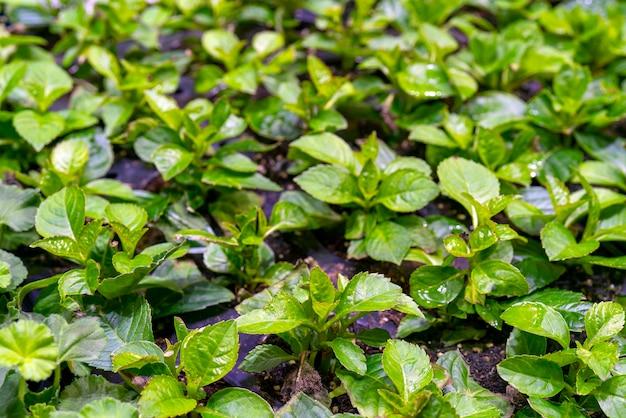 Brotos verdes de plantas agrícolas. cultivo de plantas comestíveis.
