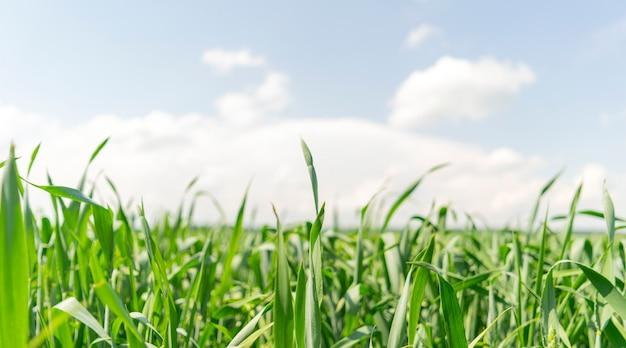 Brotos verdes no campo agrícola.