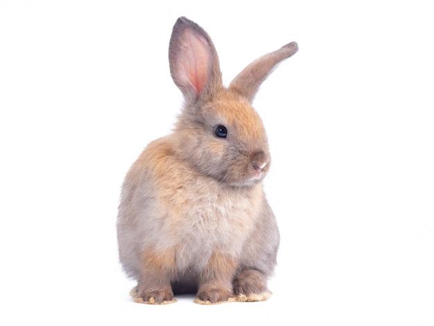 Brown coelho bonito bebê sentado isolado na parede branca.