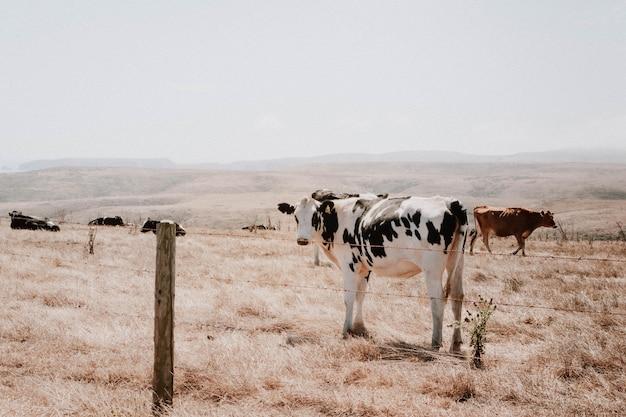 Brown e vacas preto e brancas em um campo de grama