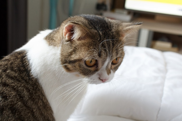 Brown listrado scottish fold gatinho, o gato bonito dorme, scottish fold