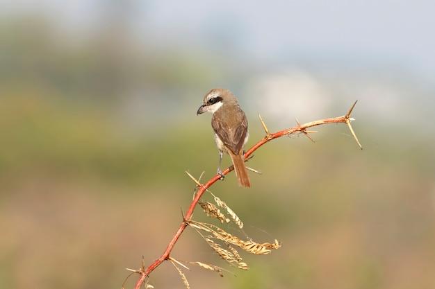 Brown picanço lanius cristatus belas aves da tailândia empoleirar-se na árvore