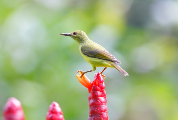 Brown-throated sunbird anthreptes malacensis belas aves femininas da tailândia
