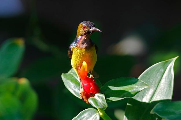 Brown-throated sunbird anthreptes malacensis belo macho aves da tailândia