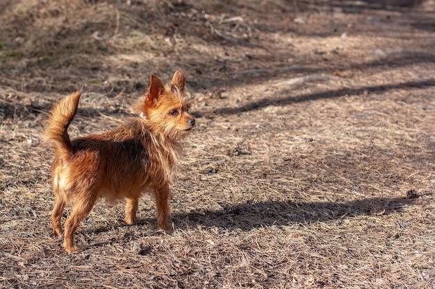 Brown yorkshire terrier fica sobre agulhas secas de abeto