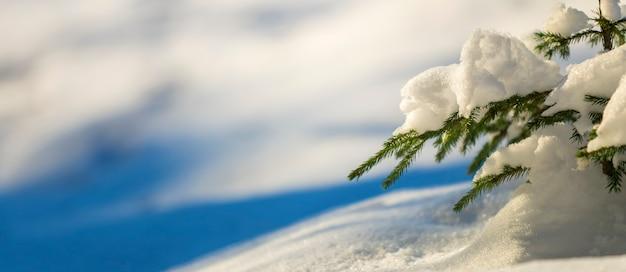 Brunches de árvore spruce tenro jovem com agulhas verdes cobertas com neve profunda e geada em fundo de espaço de cópia colorido azul e branco brilhante. cartão de feliz natal e feliz ano novo.