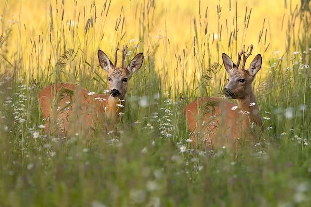Buck deers em uma clareira