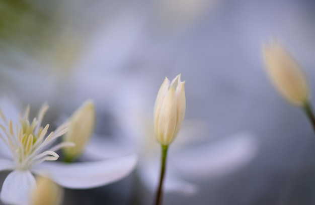 Bud branco bonito clemantis cresce no jardim