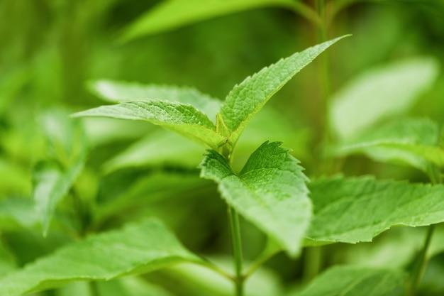 Bud não abriu a flor - heliopsis, uma planta verde no jardim. fotografia horizontal