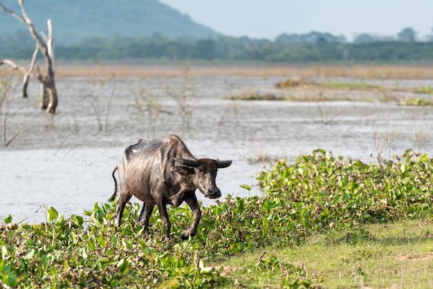 Búfalo ao lado de um rio