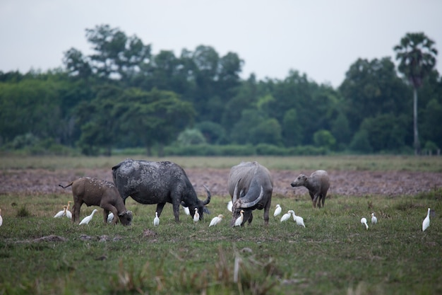 Búfalo asiático na fazenda