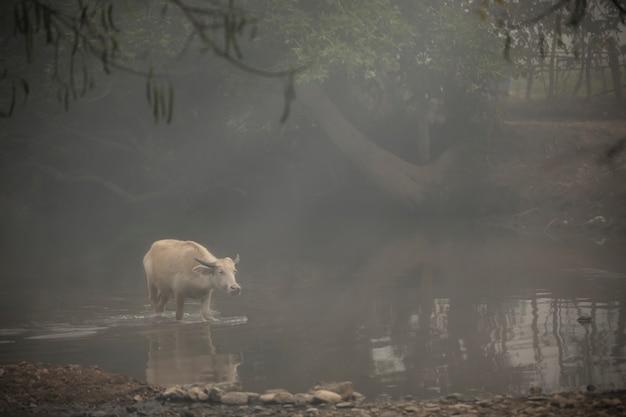 Búfalo branco atravessando um riacho na névoa da manhã